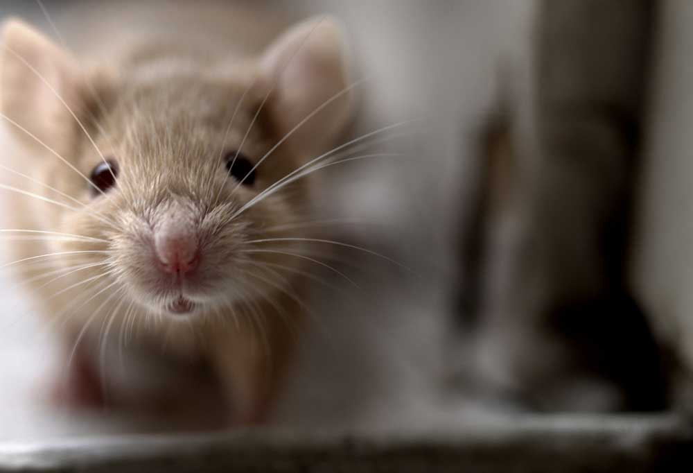 Close up of the face of a mouse