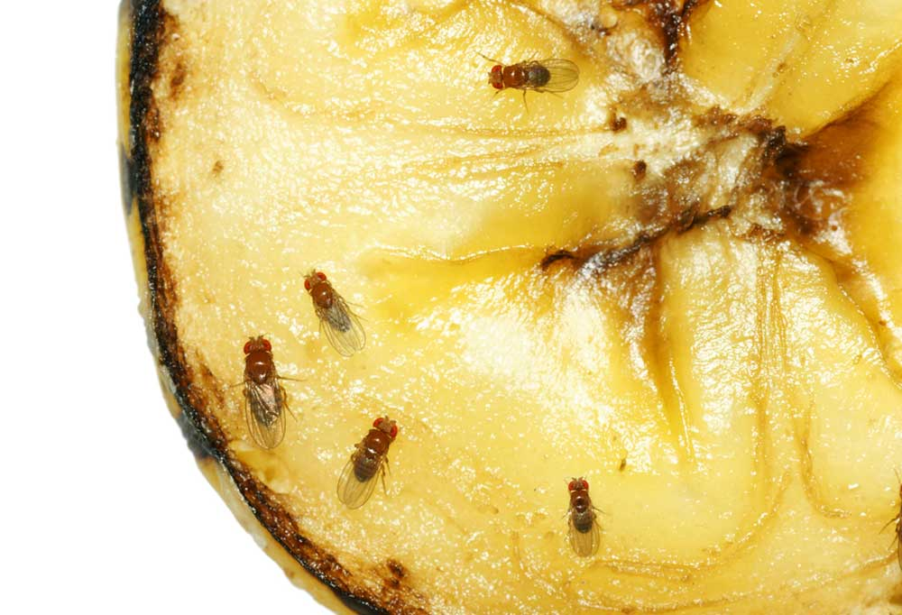 Close up of a piece of banana covered in fruit flies