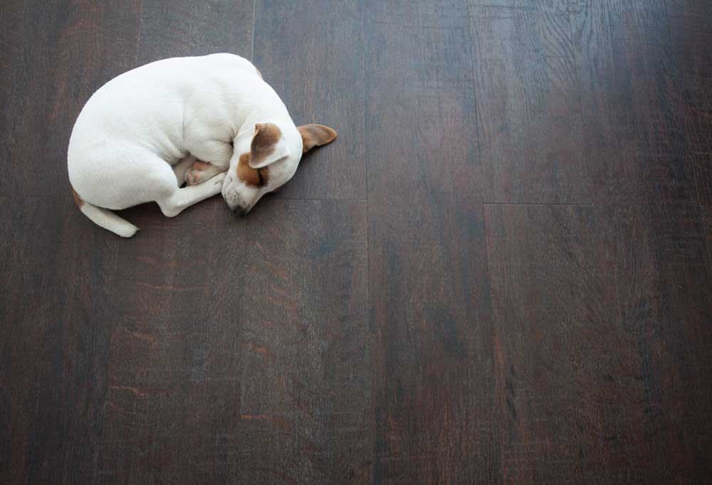 Jack Russell terrier puppy curled into a ball sleeping on dark colored hardwood floors.